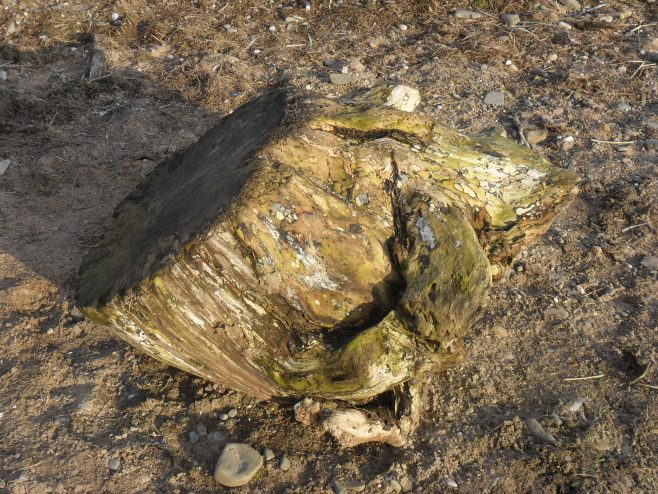 Tree stump washed up on the shore at Sunderland Point showing attractive pattern on the wood.